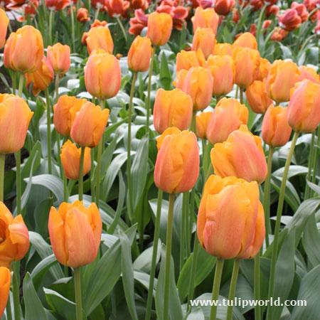 Daydream Tulip Darwin Hybrid Tulip