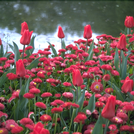 Sky High Scarlet Single Late Tulip - 38167
