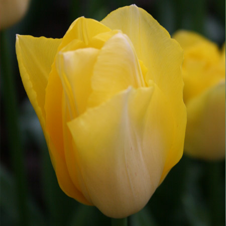 Yellow Golden Apeldoorn Tulip 100 bulbs - 38102