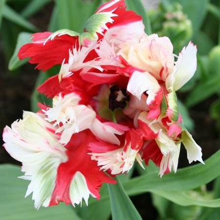 Estella Rijnveld Parrot Tulip - 38153