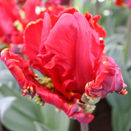 Rococo Parrot Tulip - 38156