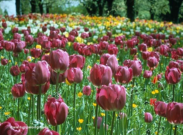 Passionale Triumph Tulip - 38217