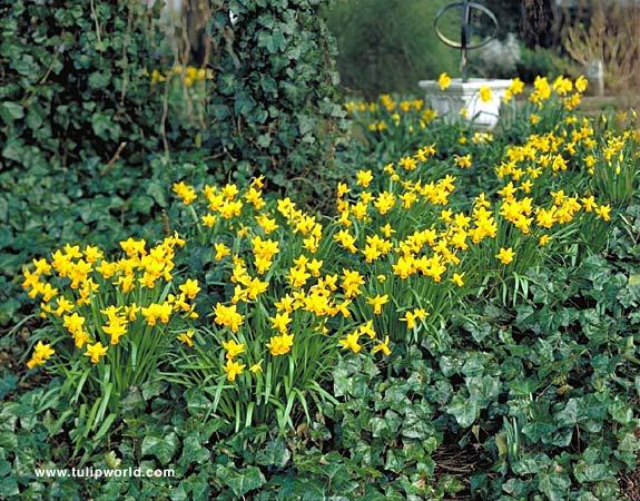 Jetfire Daffodil Narcissus - 32131