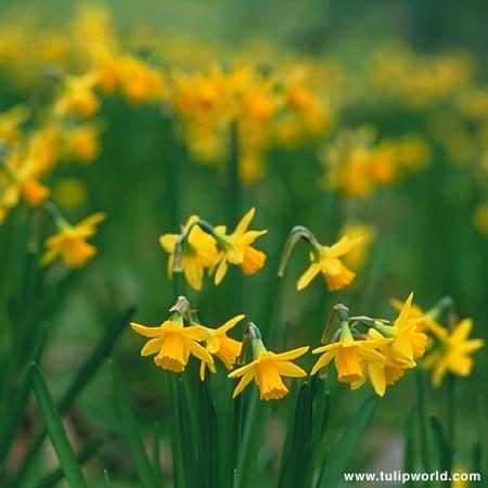Tete A Tete Daffodil Narcissus  - 32135