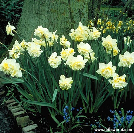 Ice King Daffodil Narcissus - 32109