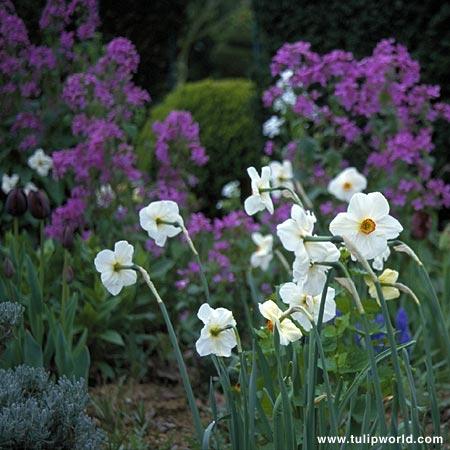 Actaea Recurvus Narcissus - 32116