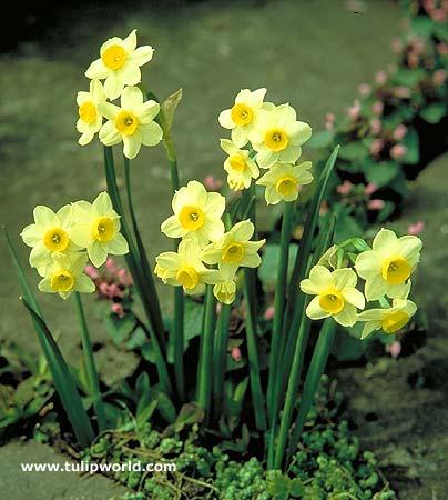 Minnow Daffodil Narcissus - 32133