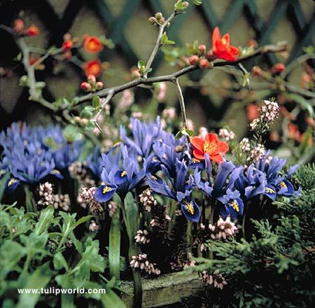 Aida Reticulata Iris - 35117