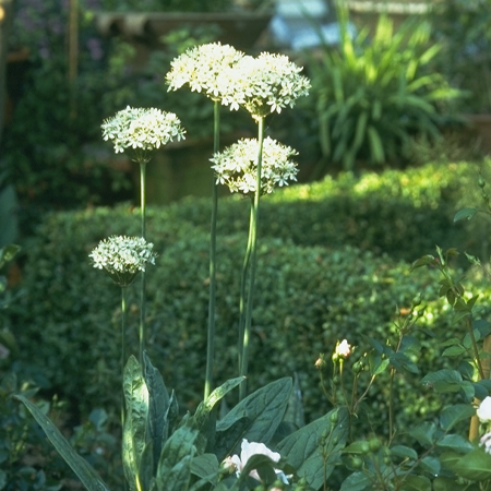 Mount Everest Allium - 31109