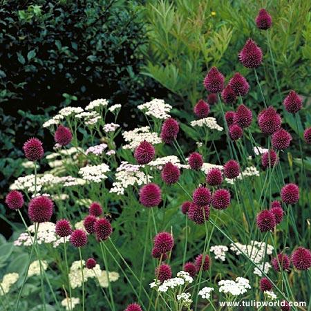 Drumstick Allium - 31108