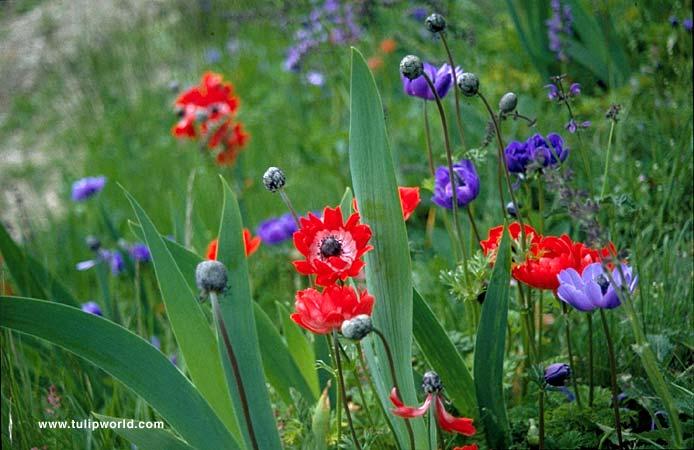 Hollandia Poppy Flowering Anemone - 33134