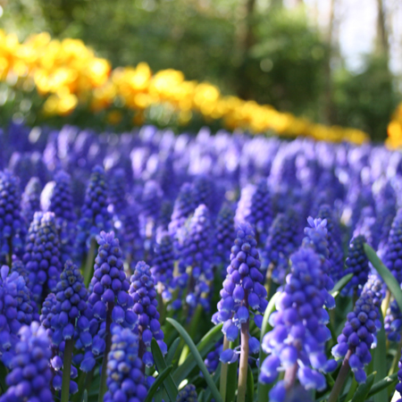 Blue Grape Hyacinth - Armeniacum Muscari - 33116