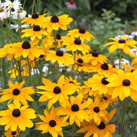 Black Eyed Susan - Rudbeckia Goldstrum - 27163