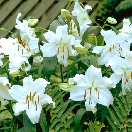 Casablanca Oriental Lily - 27119