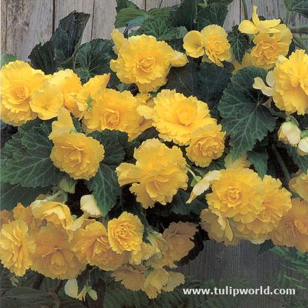 Yellow Hanging Basket Begonias - 21106