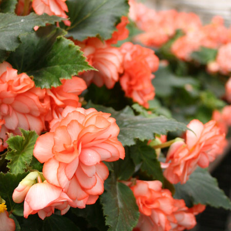 White/Red Picotee Begonia - 21110