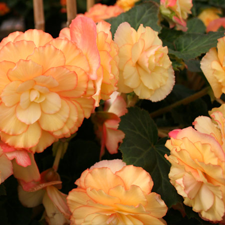 Yellow/Red Picotee Begonia - 21111
