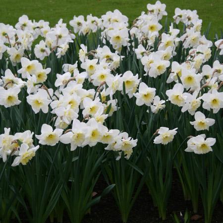 Mount Hood Daffodil - 32112