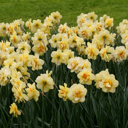 Tahiti Double Narcissi - 32138
