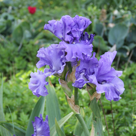 Victoria Falls Reblooming Iris - 35102