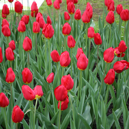 Red Impression Tulip Value Pack - 38302
