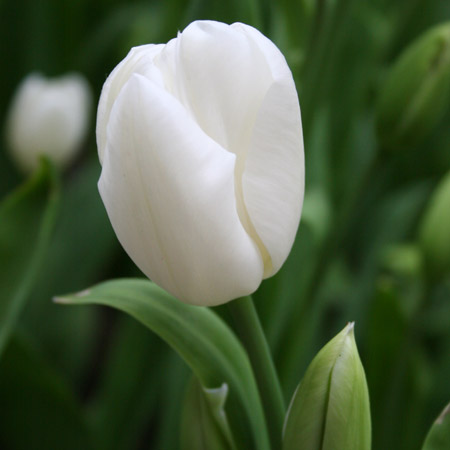 Pays Bas Triumph Tulip Value Pack - 38309