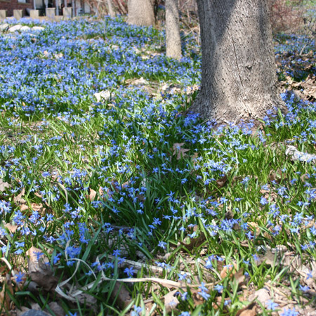 Siberian Squill Landscape Pack - 33143