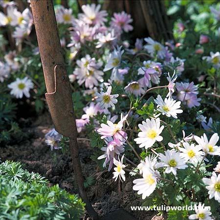 White Splendour Anemone - 28137
