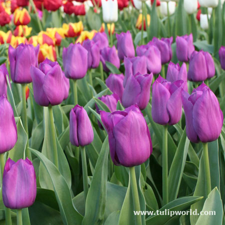 Purple Prince Single Early Tulip - 38221