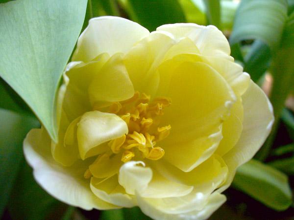Creme Upstar Double Tulip - 38124