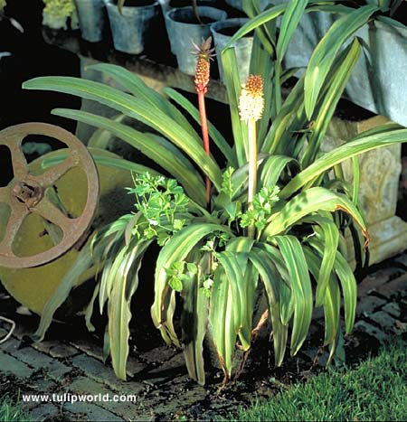 Bicolor Eucomis - (Pineapple Lily) - 28118