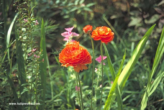 Orange Ranunculus - 37126