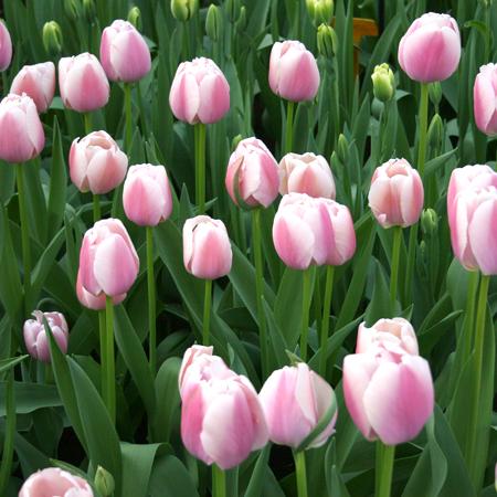 Ollioules Darwin Hybrid Tulip - 38114