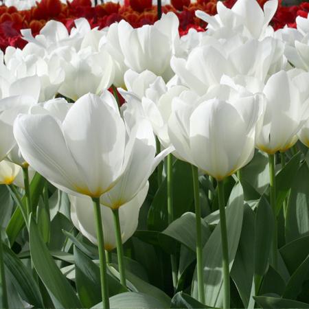 Purissima Tulip   ( Fosteriana) - 38189