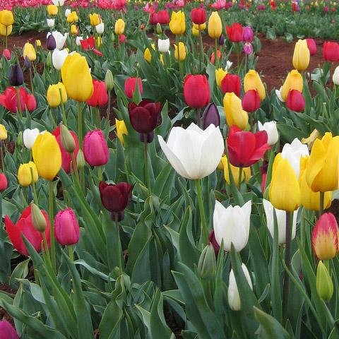 Rainbow Triumph Tulips Landscape 500/cr