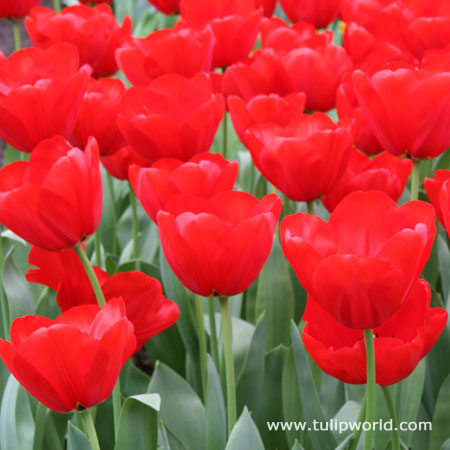 Seadov Red Bulk Tulips 500/crate - 38008