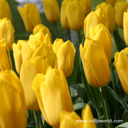 Yellow Bulk Landscape Tulips 500/crate