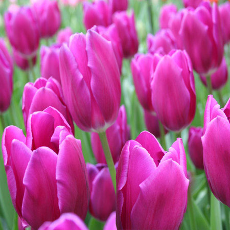 Purple Bulk Landscape Tulips 500/crate