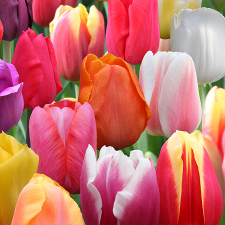 Mixed Perennial Tulips Super Pack