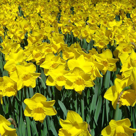 Dutch Master Daffodil 100 bulbs