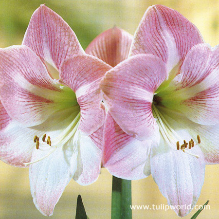 Apple Blossom Amaryllis -Large Flowering - 41100