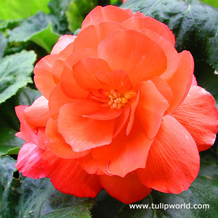 Orange Double Begonia
