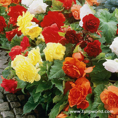Mixed Begonias Super Pack - 21115