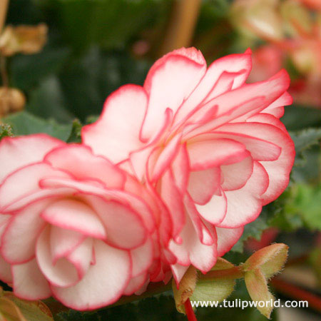 Bouton de Rose Double Begonia - 21126