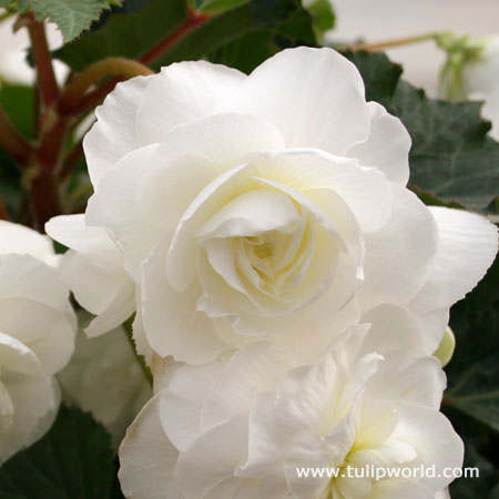 White Hanging Basket Begonia