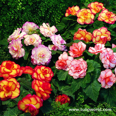 Picotee Begonias AmeriHybrid Mixed Super Pack