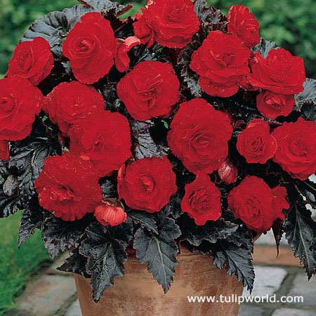Switzerland Dark Leaf Red Begonia