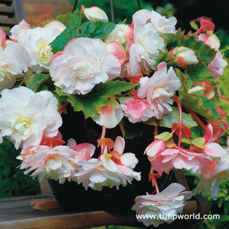 Angelique Fragrant Begonia
