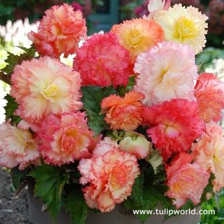 Samba Mixed Begonias