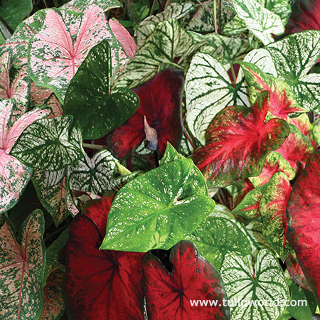 Mixed Fancy Leaf Caladium Value Pack